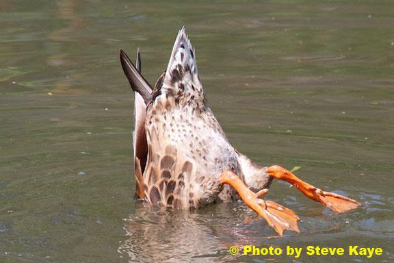 DuckDiving